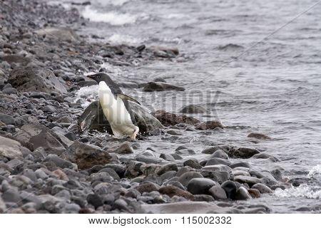 Adelie Penguin Coming Ashore, Paulet Island, Antarctica