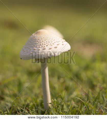 Mushroom Emerges After Spring Rain