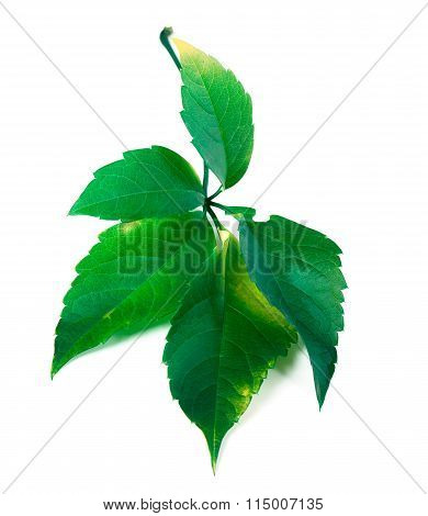 Green Virginia Creeper Leaf
