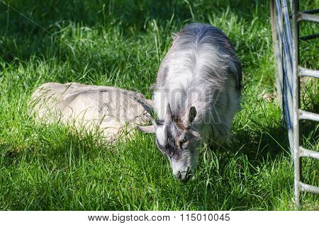 Farm north goat