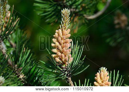 Pinus Mugo. Natural Background