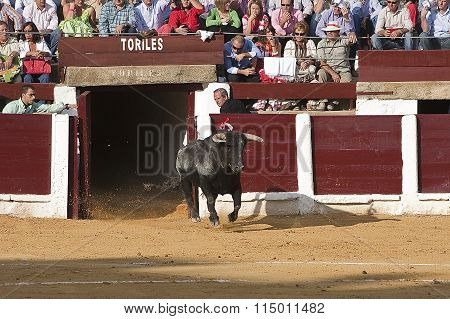 Capture of the figure of a brave bull in a bullfight going out of bullpens, Spain, 29 september 2008