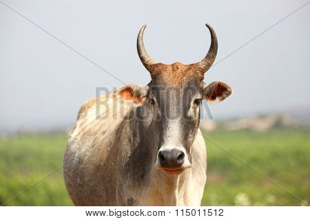 Indian cow looking at the camera