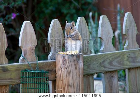 Eastern Grey Squirrel Eating