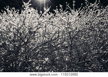 Snow on the branches of a shrub.