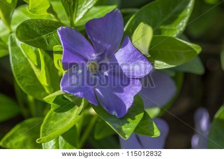 Blue Flower And Green Leaves Of Periwinkle