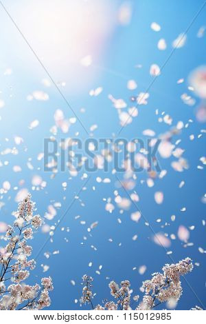 Magnificent scene of cherry blossoms flower petals floating and blown in a spring breeze with sunlight.  Focus is the below cherry tree branches. Shallow depth of field and intentional motion blur..