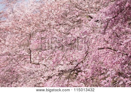 Beautiful cherry blossom trees in full bloom.