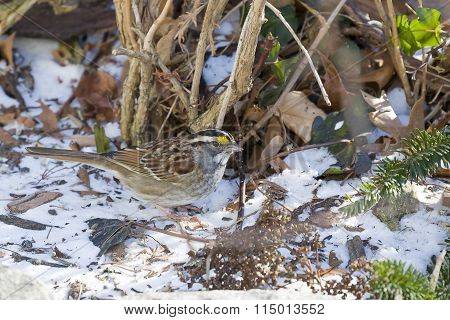 White Throated Sparrow in the Snow