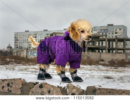 Cute Poodle Puppy In Winter Clothing