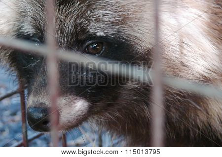 the raccoon in a cage