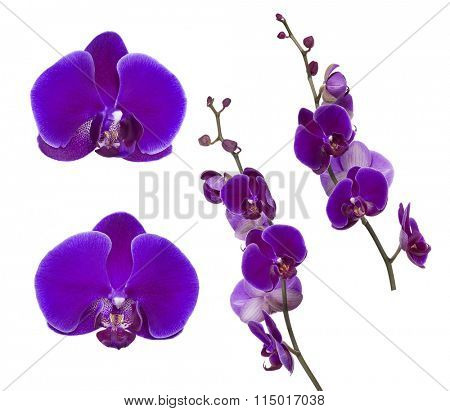 dark lilac orchid flowers isolated on white background