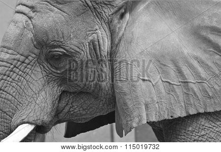 Elephant Face in Black and White