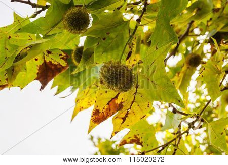 Spiky Green Chestnuts Among Leaves On Branches