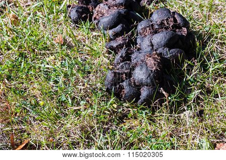 Detail Of Horse Manure Drying In Sun On Grass