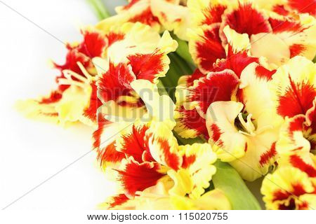 Fresh coloful red and yellow gladiolus isolated on white background