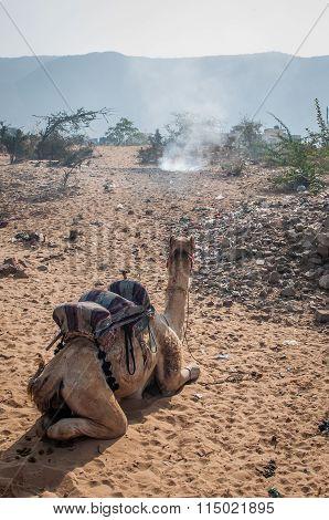 A Camel Resting In A Desert.