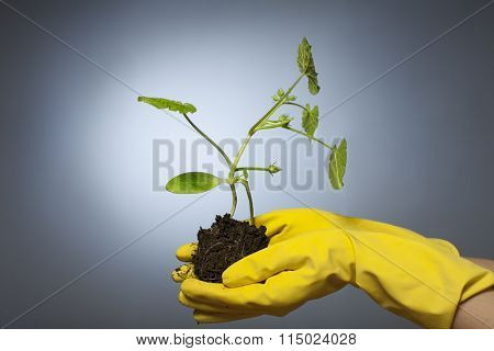 pumpkin sprout in the hands gloved