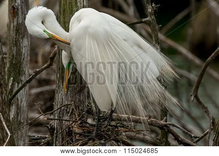 Egret Couple Watching over Nest