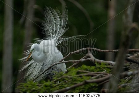 Egret with tail feathers ruffled