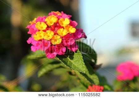 Cloth Of Gold, Hedge Flower, Lantana, Lantana Camara