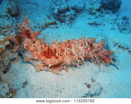 Sea cucumber, Island Bali, Pemuteran