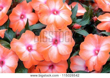 beautiful orange vinca flowers (madagascar periwinkle) in gardern