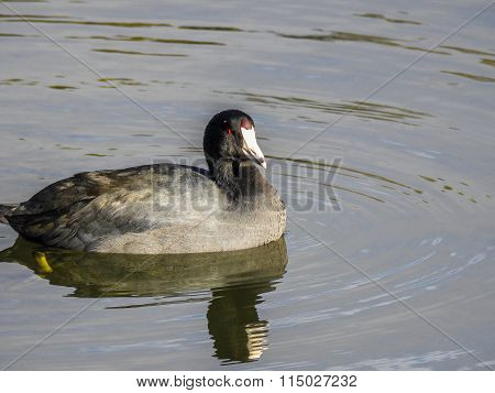 American Coot On Vasona Lake