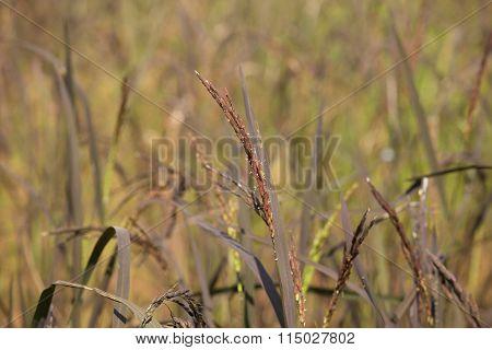 Riceberry Rice Spike