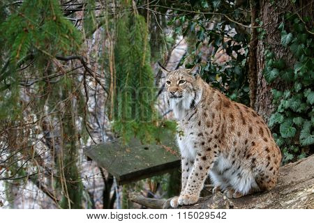 A big Eurasian Lynx ( wild cat with spots ) sitting on a wood log during winter in Europe