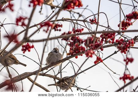 Sparrows On A Bush Viburnum On A Winter Day
