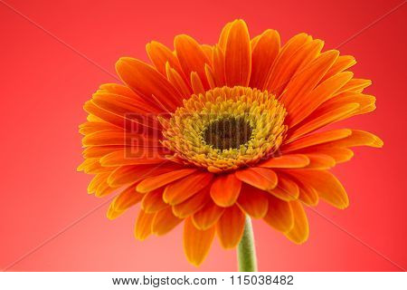 Orange Gerbera Flower Macro Studio Isolated
