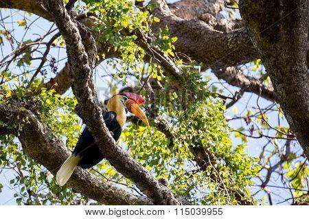 Beutifull Knobbed Hornbill