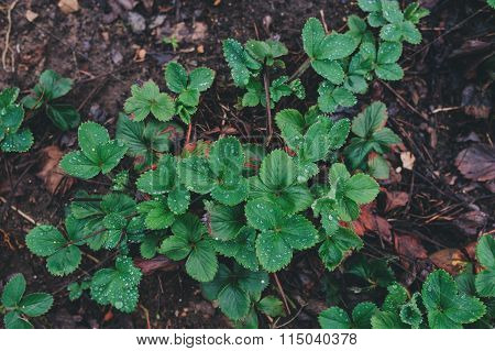 strawberry on garden bed in early spring. Growing organic strawberries on farm.