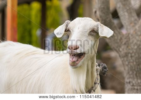 Funny goat portrait. A close up look.