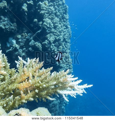 Coral Reef With Hard Corals In Tropical Sea, Underwater