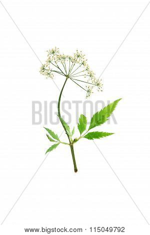 Pressed And Dried Flower Cicuta Virosa Or Water-hemlock. Isolated On White Background