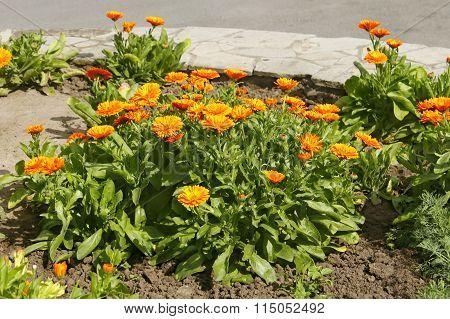 Calendula Flowering On Flowerbed