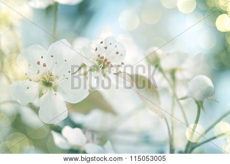White cherry tree blossoms