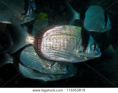 Underwater Shot Of School Of Diplodus Vulgaris Seabream