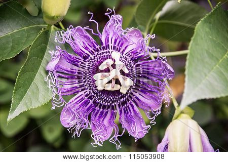 Macro Photo Of Passiflora Incarnata, Natural Scene