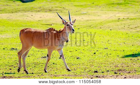 Female Eland Antelope