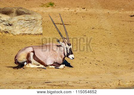 Gemsbok Antelope Resting