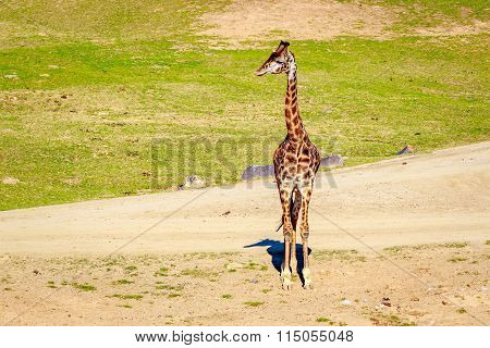 Giraffe Walking In Elegance
