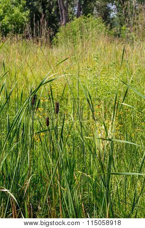 Cattails And Daisies