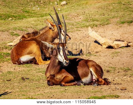 Sable Antelope Group