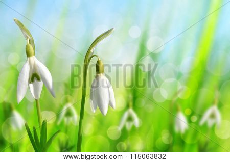 Snowdrop flowers on natural bokeh background. Spring season.
