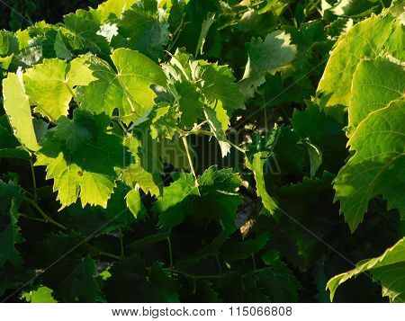 various grape varieties outdoors during the day