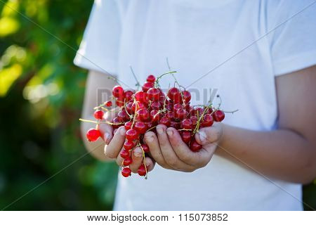 Freshly fruits of red currant in the hands of a boy