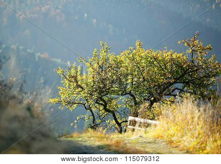 The Old Apple Tree In The Sunlight